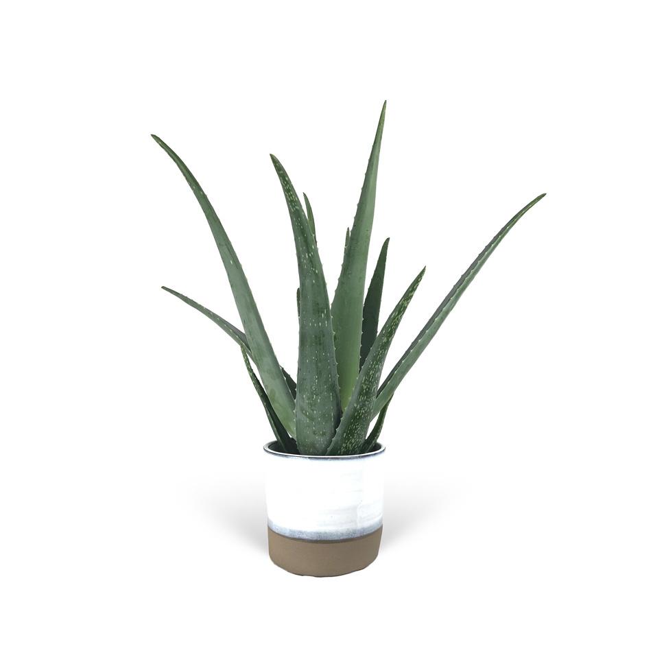 Aloe-Verra-avec-cache-pot