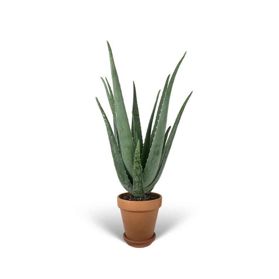 Aloe-Verra-sans-cache-pot