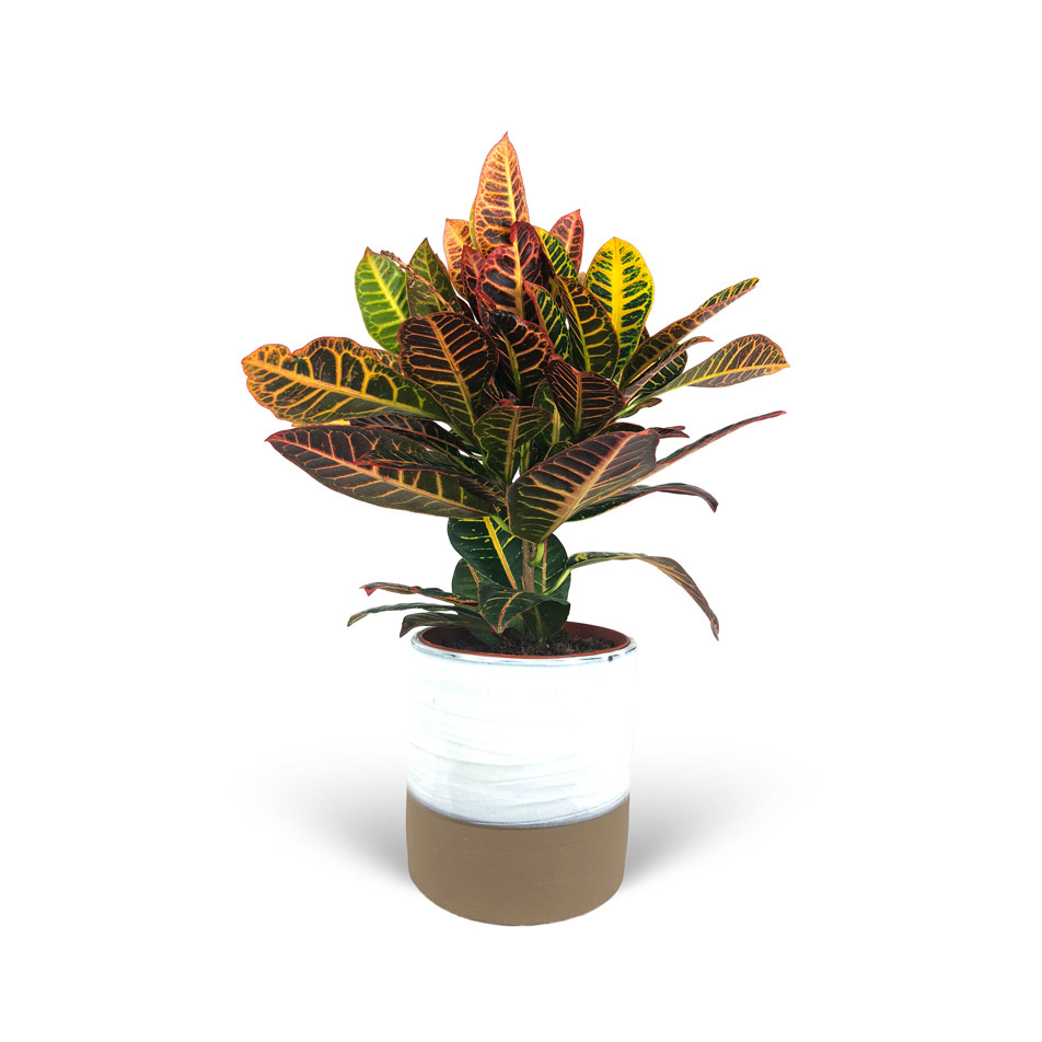 Codiaeum-Variegatum-cache-pot-3-4