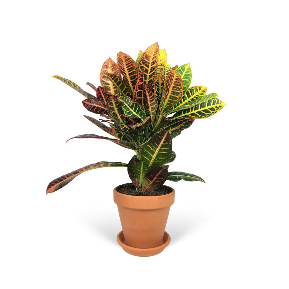 Codiaeum-Variegatum-sans-cache-pot-3-4