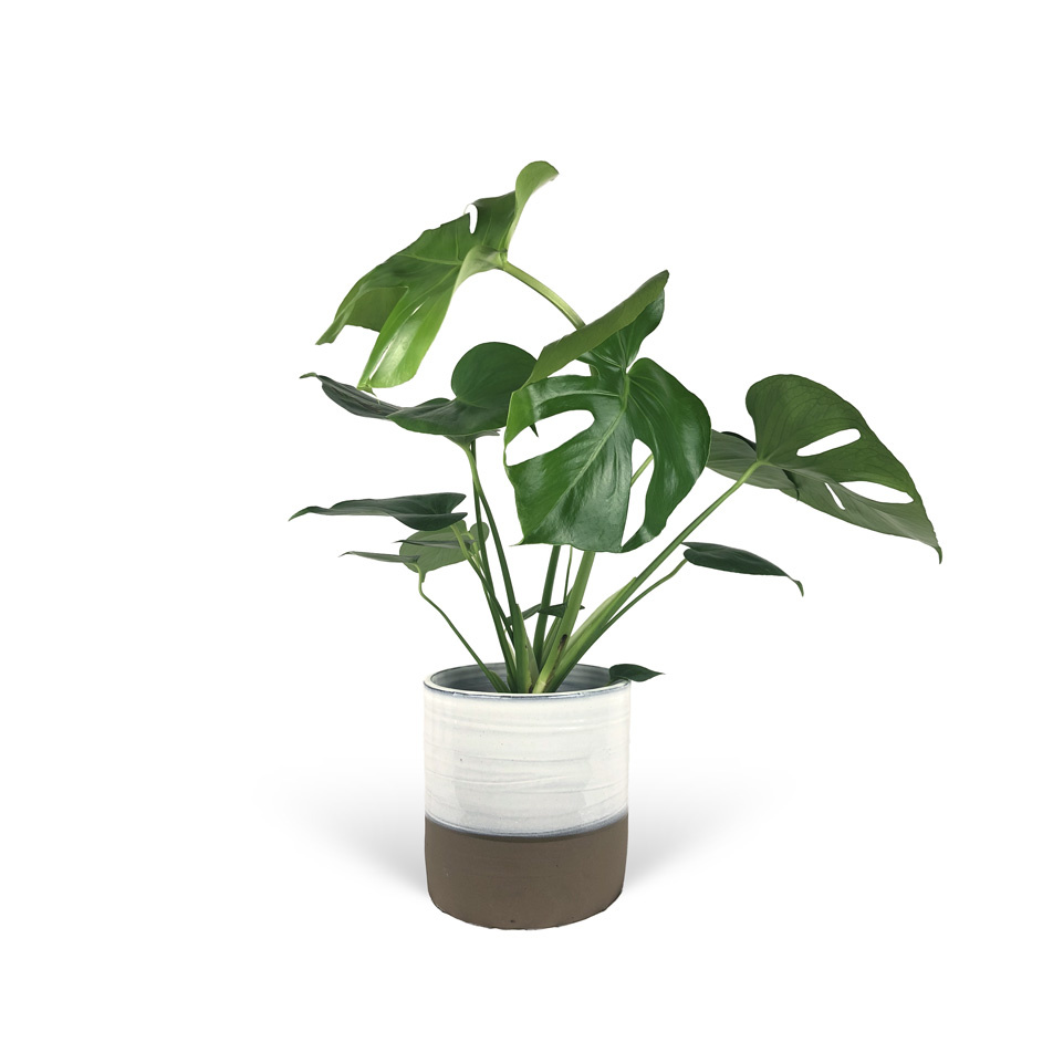 Monstera-avec-cache-pot