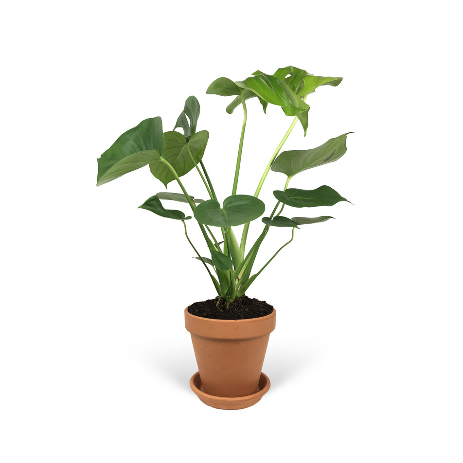 Monstera-sans-cache-pot