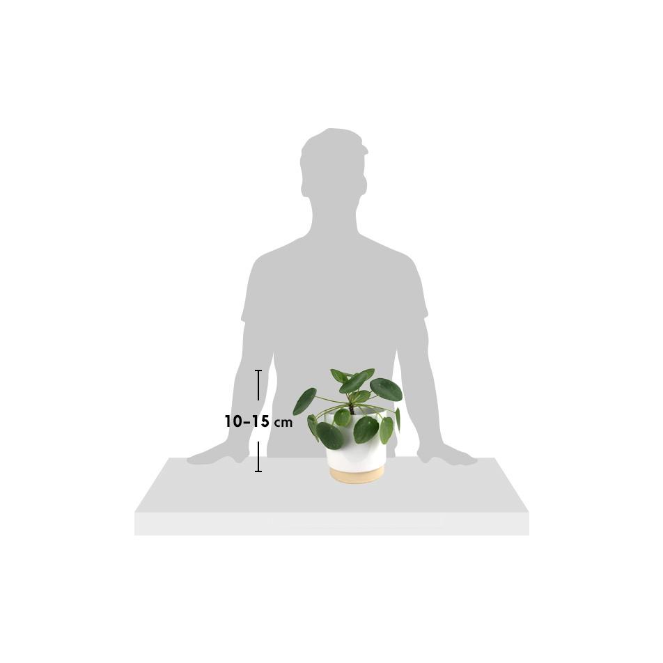 silhouette-Pilea