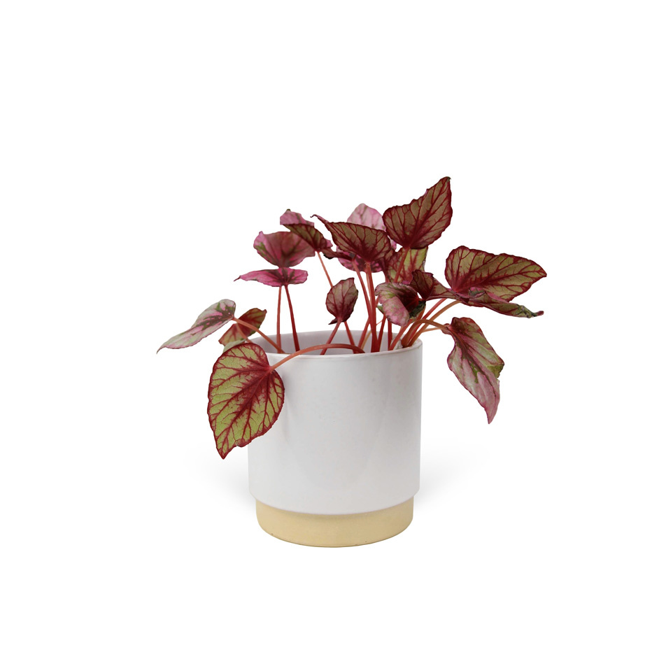 Begonia-elatior-avec-cache-pot