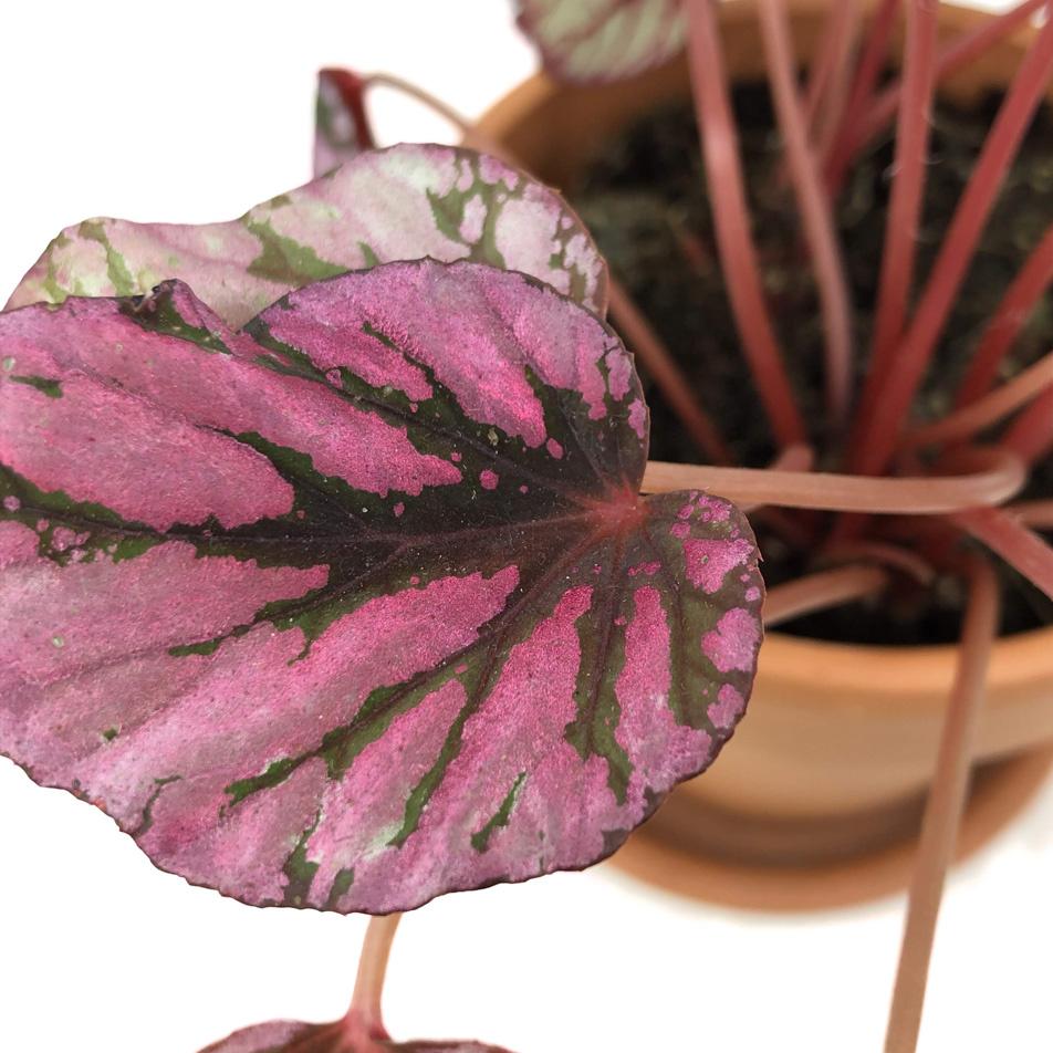 Begonia-elatior-macro-2
