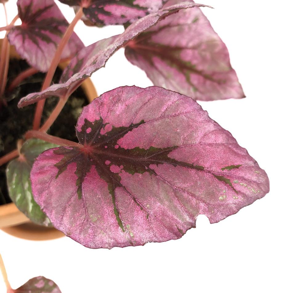 Begonia-elatior-macro