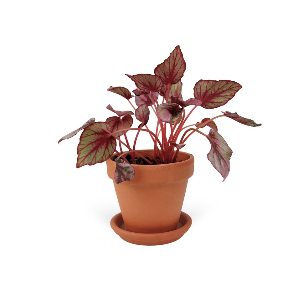 Begonia-elatior-sans-cache-pot