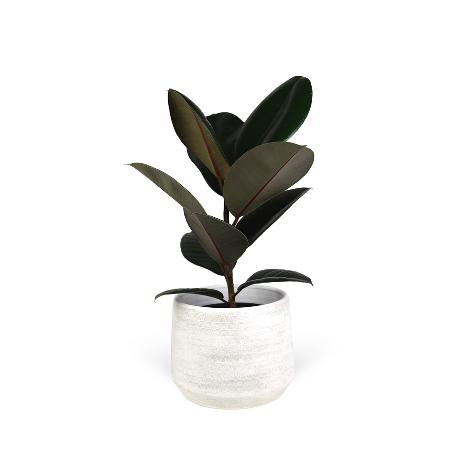 Ficus-elastica-abidjan-avec-cache-pot