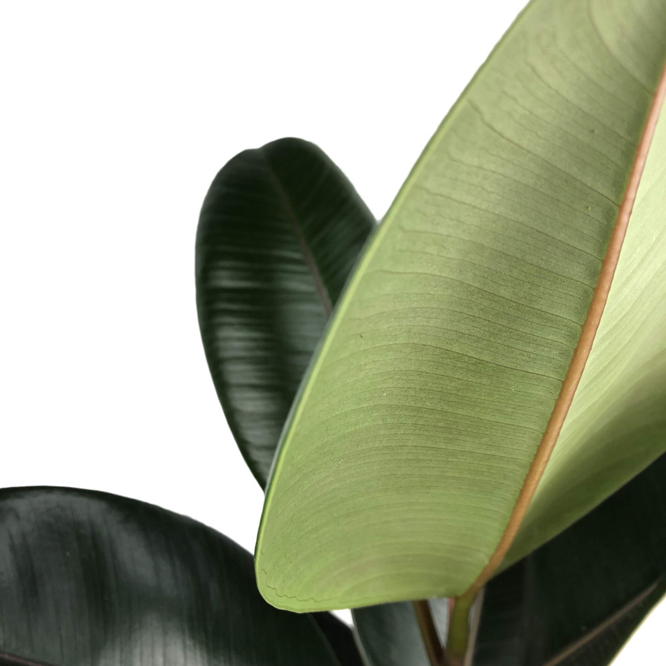 Ficus-elastica-abidjan-macro-2