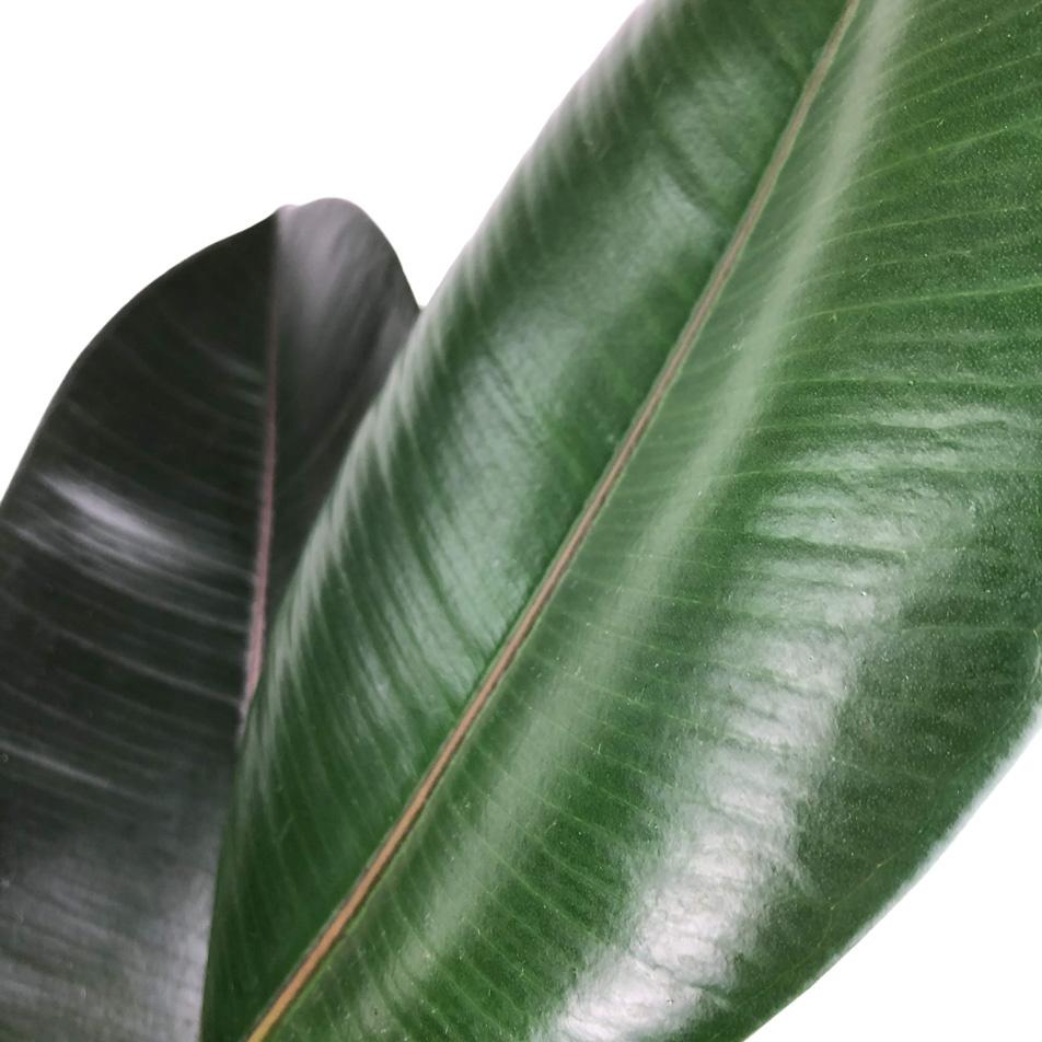 Ficus-elastica-abidjan-macro-3