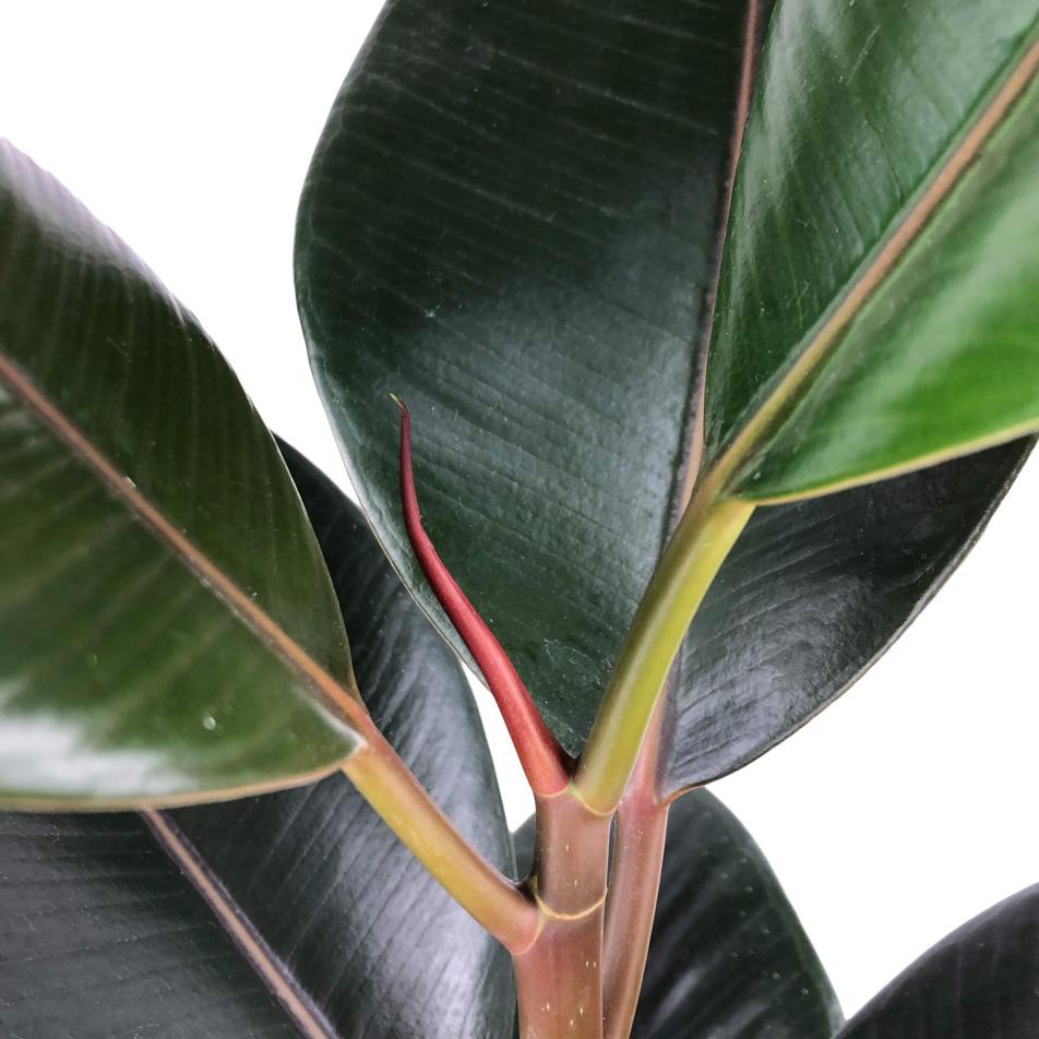 Ficus-elastica-abidjan-macro