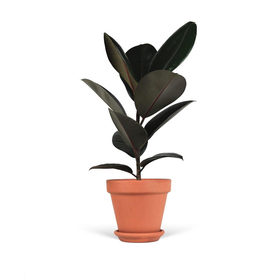 Ficus-elastica-abidjan-sans-cache-pot