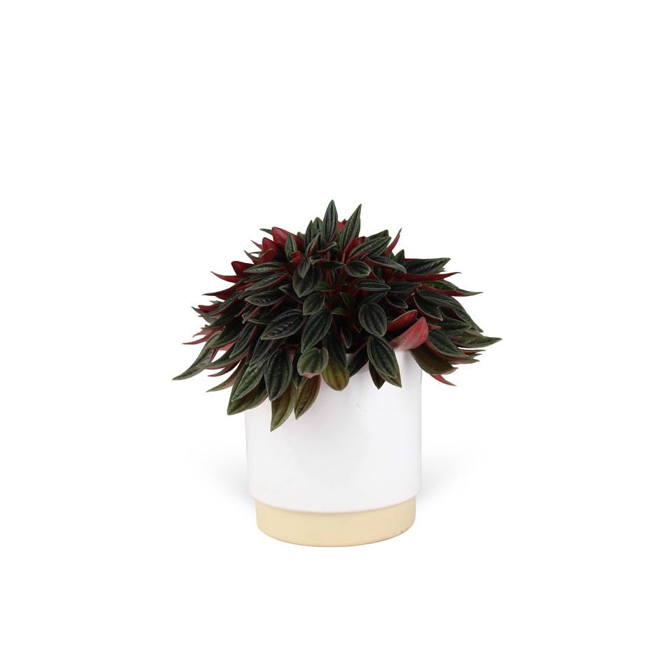Peperomia-caperata-avec-cache-pot