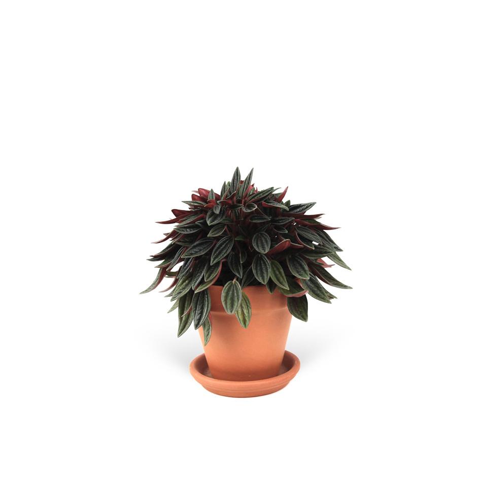 Peperomia-caperata-sans-cache-pot