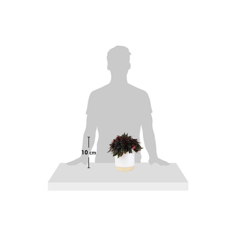 silhouette-caperata